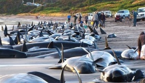 Massive whale die-off...