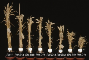 Einkorn wheat stalks (far left) were ultimately genetically modified into today's dwarf wheat (far right).